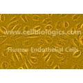 Endothelial Cell Growth Supplement- ECGS (500X)