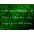 B129 Mouse Primary Thyroid Microvascular Endothelial Cells