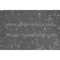 C57BL/6 Mouse Primary Embryonic Liver Sinusoidal Endothelial Cells