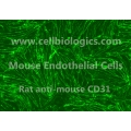 C57BL/6 Mouse Primary Lymphatic Endothelial Cells