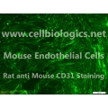 CD1 Mouse Primary Ovarian Endothelial Cells