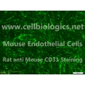 C57BL/6 Mouse Primary Thyroid Microvascular Endothelial Cells