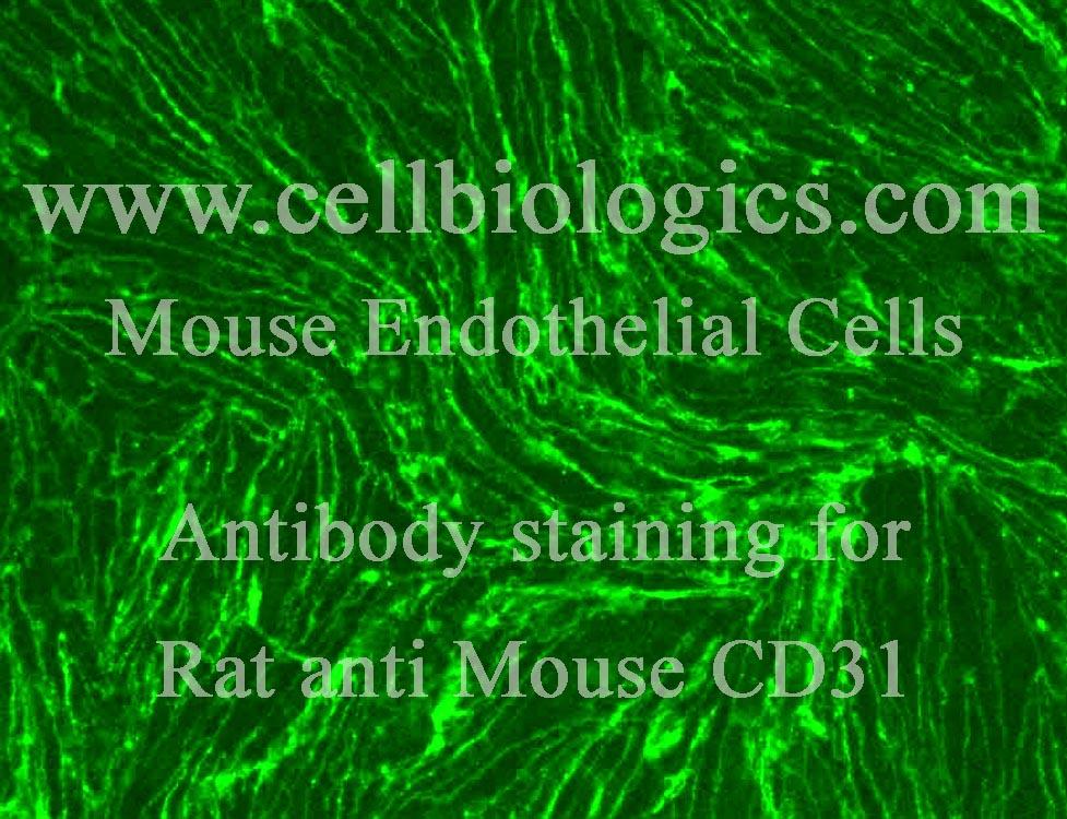 http://cellbiologics.com/images/webimages13/MsEC%20monoCD31%20Image_3084%20copy.jpg